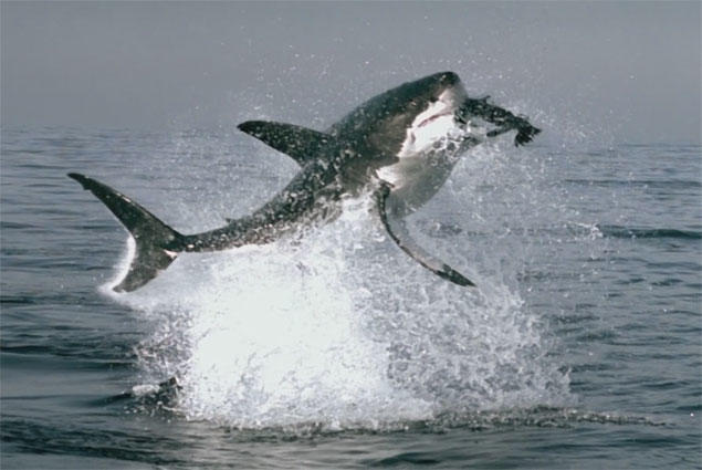 great white jaws