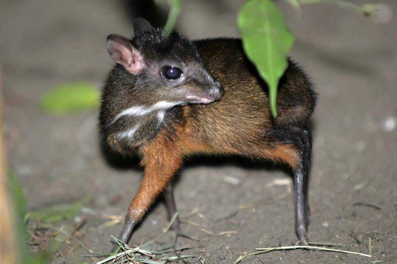 tiny-mouse-deer