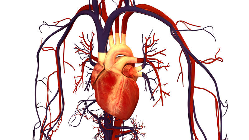 Human-Heart-and-Circulatory-System