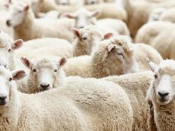 Scientists Develop Emergency SMS For Sheep