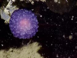 What is this weird purple orb scientists found in the ocean?