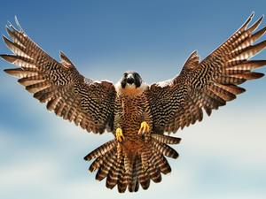 First-Person Falconry - Tiny Cameras Strapped to the Birds of Prey
