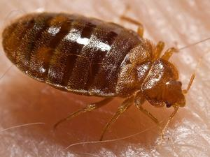 Oh, great: Bed bugs are evolving with thicker skin to resist insecticides