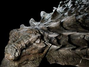 Well-preserved dinosaur fossil looks like it died just weeks ago